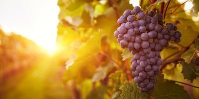 Slowing Down Grape Ripening Can Improve Berry Quality for Winemaking