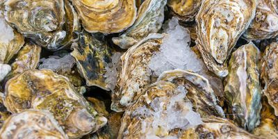 Conservation Aquaculture Could Bring More Native Oysters to West Coast
