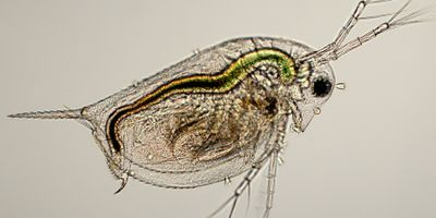 Rapid Evolution in Water Fleas Yields New Conservation Insights