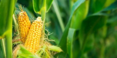 US Corn and Soybean Maladapted to Climate Variations, Study Shows