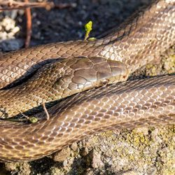 Using Snakes to Monitor Fukushima Radiation
