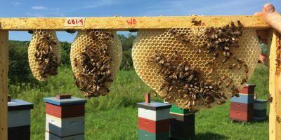 Comb Construction in Honeybees