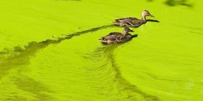 Harmful Algal Blooms Jeopardize Health of Reptiles, Songbirds