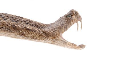 How Snakes Got Their Fangs
