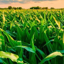 Scientists Take Step to Improve Crops' Photosynthesis, Yields