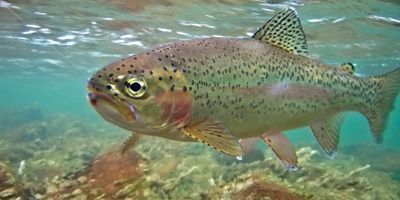 image of a rainbow trout