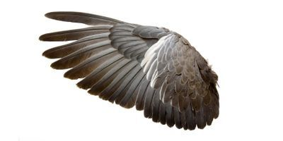 Wing Shape Determines How Far Birds Disperse