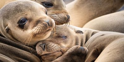 Climate Change Will Impact Antarctic Seals Differently