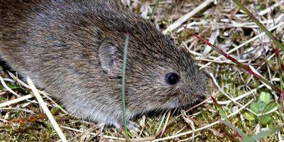 Study of Voles Advances Knowledge of Small-Mammal Population Dynamics