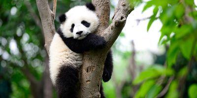 Conservation Study: Fostering Wanderlust Benefits Pandas