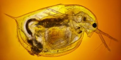 Behold the Humble Water Flea, Locked in a Battle of Mythological Proportions