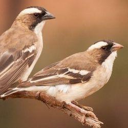 Desert Teamwork Explains Global Pattern of Cooperation in Birds
