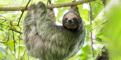 Evidence for a New—but Now Extinct—Species of Ancient Ground-Dwelling Sloth