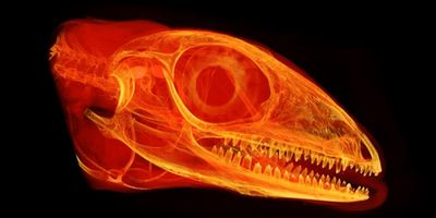 Plant-Eating Lizards on the Cusp of Tooth Evolution