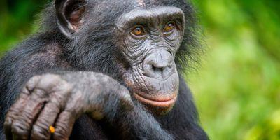 Great Ape Assessment Reveals Human Activity Is Greatest Driver of Ape Abundance