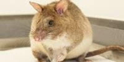 Scientists Tackle Breeding Challenges of Land Mine-Finding Rats