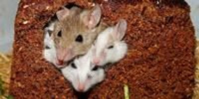 How Friendly Mice Can Affect Their Lonely Cagemates