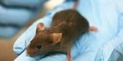 Better Mouse Model Built to Enable Precision Medicine Research for Alzheimer's