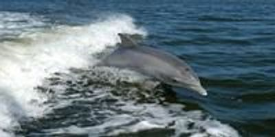 Endocrine Disruptors Found in Bottlenose Dolphins