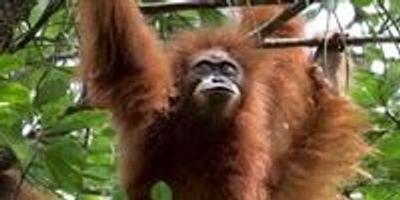 World's Rarest Ape on the Edge of Extinction