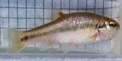 City Fish Evolve Different Body Forms Than Country Fish