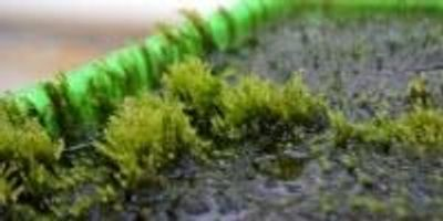 Moss Capable of Removing Arsenic from Drinking Water Discovered
