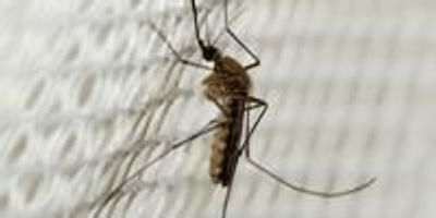 Gene Knockout Using New CRISPR Tool Makes Mosquitoes Highly Resistant to Malaria Parasite