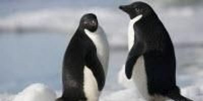 """Supercolony"" of Adélie Penguins Discovered in Antarctica"