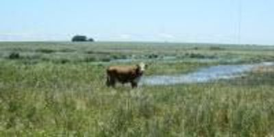 Reed Canarygrass: Environmental Foe, Cattle Food?