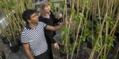 Gene Improves Plant Growth and Conversion to Biofuels
