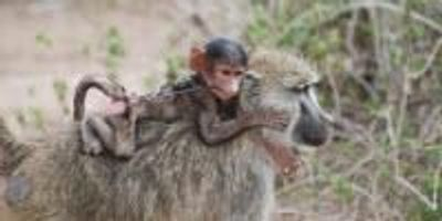 Mammals Moving Less in Human Landscapes May Upset Ecosystems