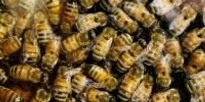 Agricultural Fungicide Attracts Honey Bees, Study Finds