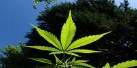 Cannabis Reverses Aging Processes in the Brain