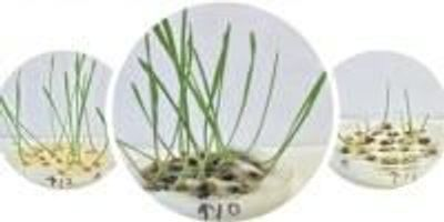 Wheat Gets Boost from Purified Nanotubes