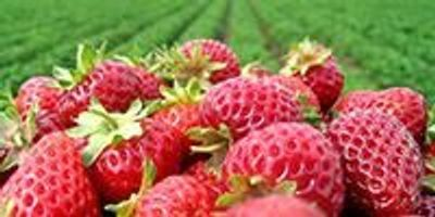 Research Uncovers New Weed Control Options for Strawberry Growers