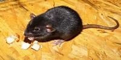 Paraplegic Rats Walk and Regain Feeling After Stem Cell Treatment