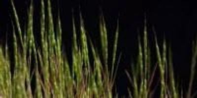 Genome of Wheat Ancestor Sequenced