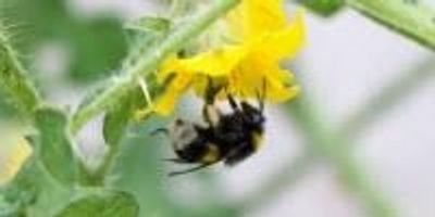 Pesticides May Cause Bumblebees to Lose Their Buzz, Study Finds
