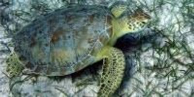 Crime-Scene Technique Used to Track Turtles