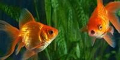 Scientists Reveal How Goldfish Make Alcohol to Survive without Oxygen