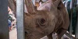 Endangered Black Rhino Expecting First Calf