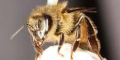 Common Pesticide Damages Honey Bee's Ability to Fly
