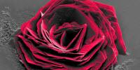 """Cysteine Rose"" Wins 2016 Thermo Fisher Scientific Electron Microscopy Image Contest"