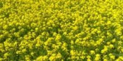 Mustard Seeds without Mustard Flavor: New Robust Oilseed Crop Can Resist Global Warming