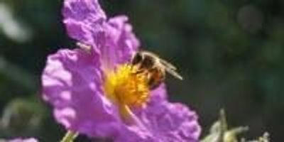 At Mealtime, Honey Bees Prefer Country Blossoms to City Blooms