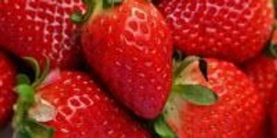 Research Looks at Growing More Nutritional, Flavorful Strawberries in Kansas