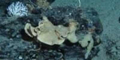 Natural Compound From a Deep-Water Marine Sponge Found to Reduce Pancreatic Tumor Size
