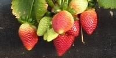 Research Findings Could Eventually Save $30 Million Annually for Strawberry Growers