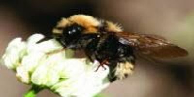 Bees' Ability to Forage Decreases as Air Pollution Increases