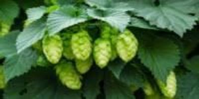 Hops Could Help Reduce Breast Cancer Risk